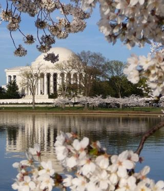 Jefferson Memorial Cherry trees-2011
