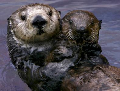 Otter named Toola - Monteray Aquarium photo