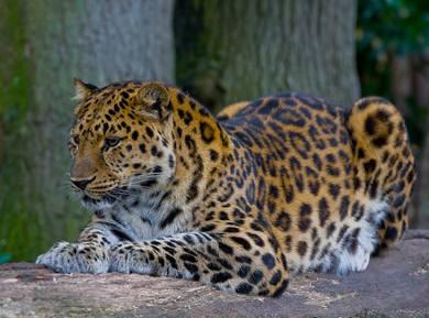 Amur Leopard GNU-Wikipedia