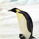 Emperor Penguin -British Antarctic Survey