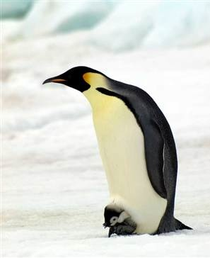 Emperor Penguin -British Antarctic Survey
