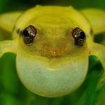 Frog Platypelis - Goncalo Rosa