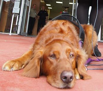 Therapy dog retriever Beth Zilbert photo