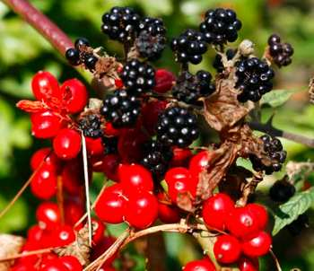 Photo of berries by OldGreySeaWolf, morguefile.com