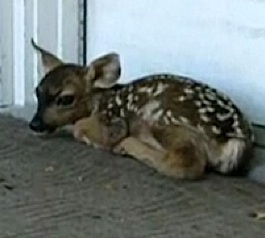 fawn on doorstep-YouTube