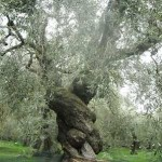 ancient Olive Tree in Pelion Greece -by Dennis Koutou, CC