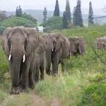 elephant whisperer herd returns