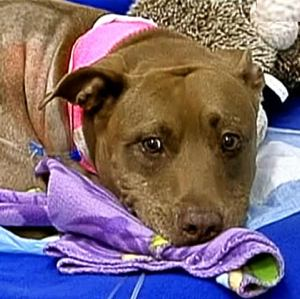 pit bull hero pulls lady from train