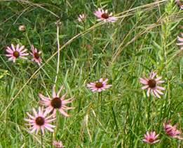purple coneflower Tennessee-USFW