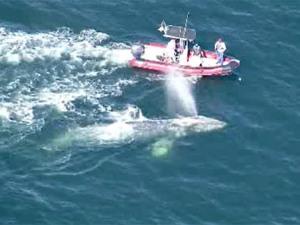 whale rescue in Sanoma -CBSvid