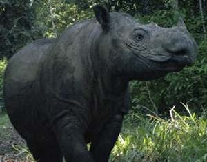 female Sumatran Rhino gave birth - Indonesian Rhino Foundation