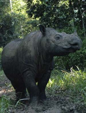 female Sumatran Rhino gave birth - Indonesian Rhino Foundation