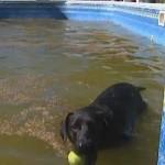black lab in dirty pool (CNN video)
