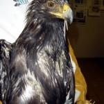 juvenile Golden Eagle - Wildlife Rehab Center of No Utah