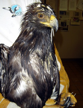 juvenile Golden Eagle - Wildlife Rehab Center of No Utah