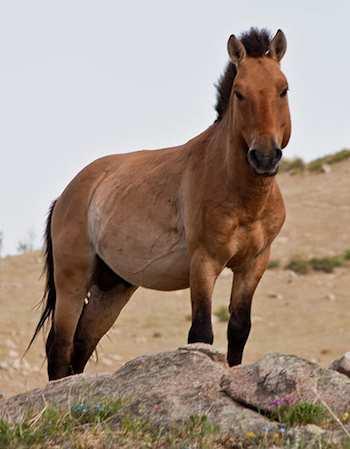 Przewalski's horse by Chinneeb - GNU