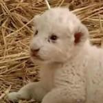 lion cub white - ITN video