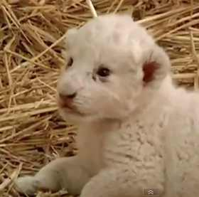 lion cub white - ITN video