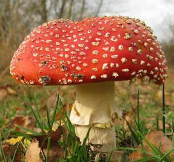 mushroom red capped-badeendjuh-Morguefile