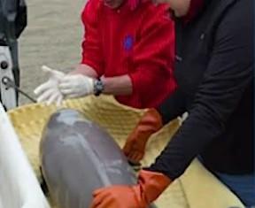 whale baby rescue -Alaska SeaLife Center photo