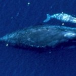 bowhead whale and baby - NOAA photo