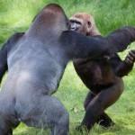 gorilla brothers reunite-zoophoto
