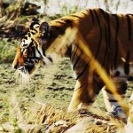 photo of tiger by Explore.org