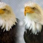 Eagle gets new 3D beak-Birds of Prey Northwest