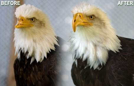 Eagle gets new 3D beak-Birds of Prey Northwest