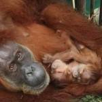 Orangutan with twins- Sumatran Orangutan Conservation Programme