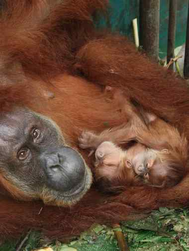 Orangutan with twins - Photo by Sumatran Orangutan Conservation Programme