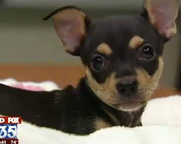 chihuahua gets reprieve, Fox-35 video snapshot