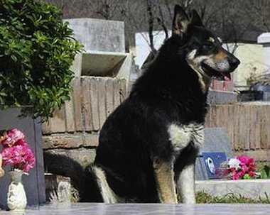dog keeps watch over owners grave LA VOZphoto