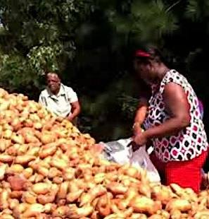 sweet potato mountain Herald online video