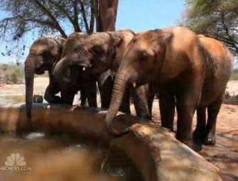 elephant calves-NBCVideo