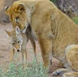 Lion and coyote bonding - PBS Nature snapshot
