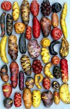 Potatoes Peruvian varieties