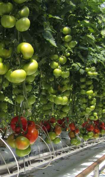 Tomatoes Hydroponic Sundrop Farmsphoto