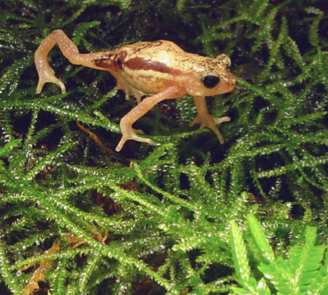 orange toad in Tanzania