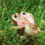 The Kihansi Spray Toad -Global Wildlife Conservation photo