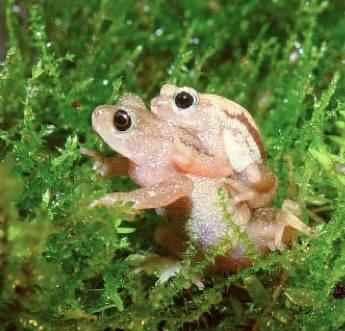 The Kihansi Spray Toad -Global Wildlife Conservation photo