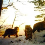 Tigers camera trap photos-WCS