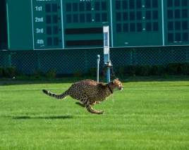 cheetah running at horse track