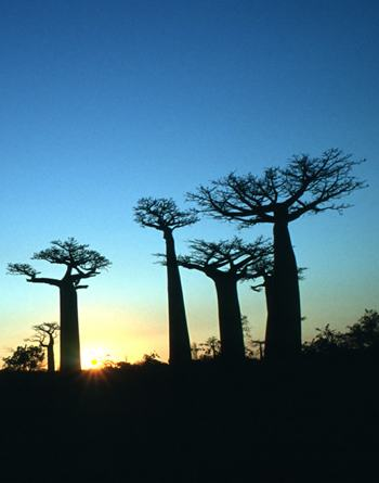 sunset in Africa cocoa trees