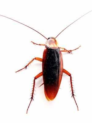 Cockroach CC-Joao Estevao de Freitas