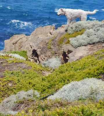 Sheepdogs as protectors-David Williams Australia