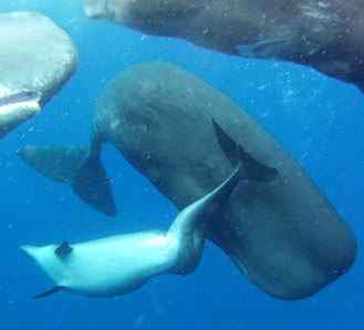 dolphin adopted by whale-Alexander DM Wilson Aquatic Mammals