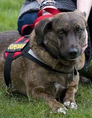 War dog Brin-Geoff Pugh-photo