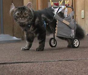 cat wheelchair by robotics club