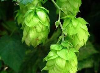 hops photo from freshops.com